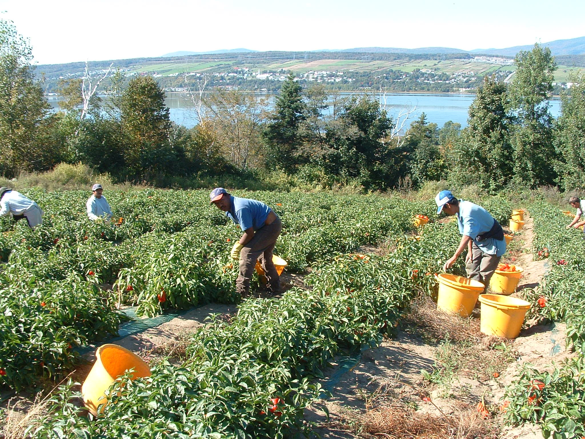 Seasonal agricultural workers harvest tomatoes in a field.