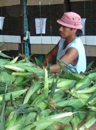 An agricultural worker prepares ears of corn for shipping.