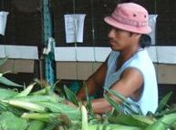 An agricultural worker prepares ears of corn for shipment.