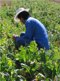 A migrant worker picks swiss chard in a field in Canada.